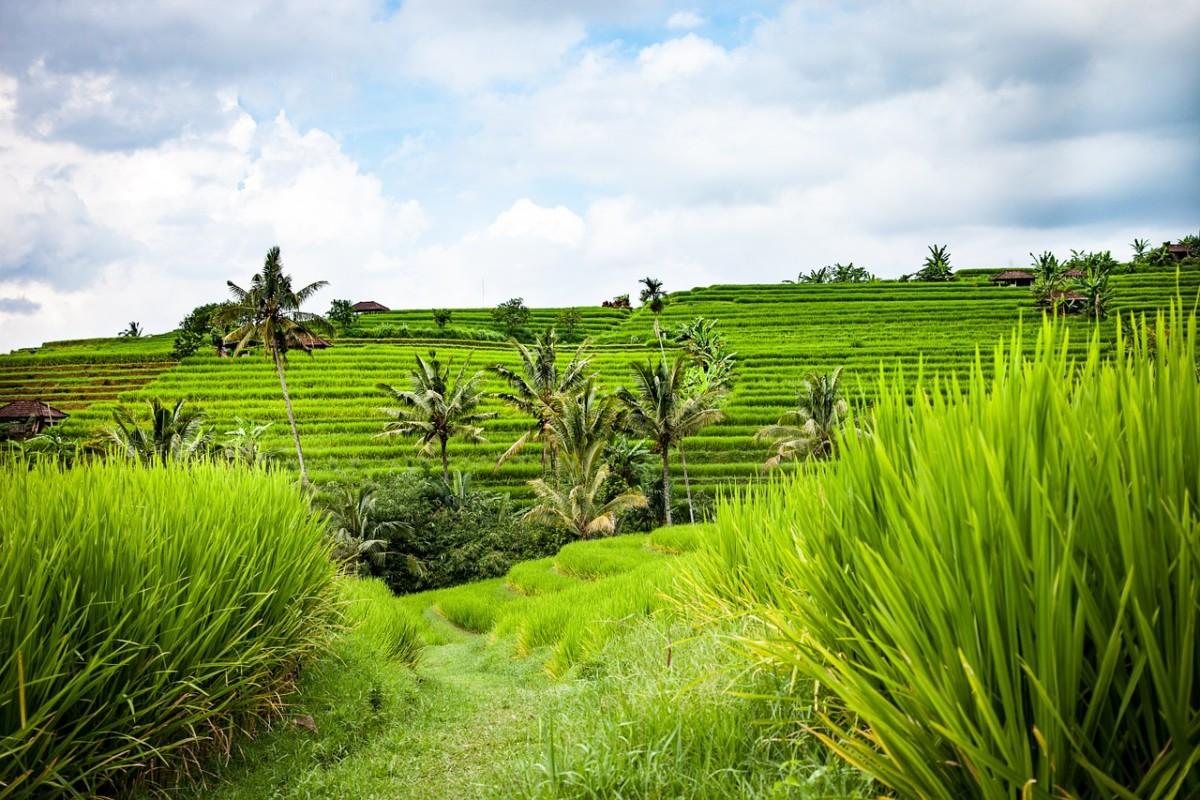 Rismarker på Bali